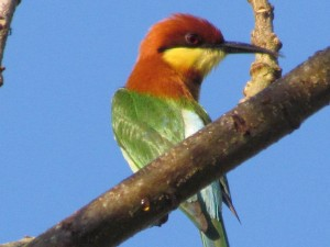 ChestnutHeadedBeeEater Red